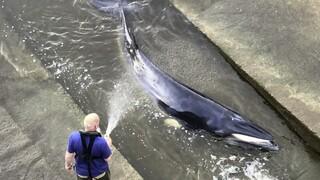 Μικρή φάλαινα εγκλωβίστηκε στον Τάμεση - Στήθηκε επιχείρηση διάσωσης