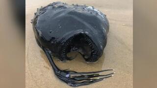 Σπάνιο εύρημα: «Ποδοσφαιρόψαρο» που ζει στο βάθος του ωκεανού ξεβράστηκε σε ακτή της Καλιφόρνια