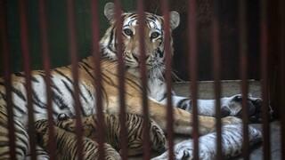 Χιούστον: Βρέθηκε η τίγρη που αγνοείτο εδώ και μια εβδομάδα - Είχε θεαθεί να περιπλανιέται
