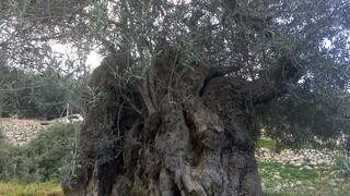 Τα μνημειακά δένδρα της Επανάστασης: 200 χρόνια μετά, παρακολουθούν τη συνέχεια…