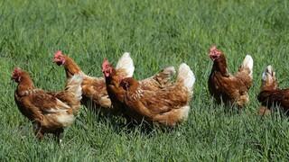 ΗΠΑ - Έξαρση σαλμονέλωσης: «Μην αγκαλιάζετε τις κότες σας» λέει το CDC