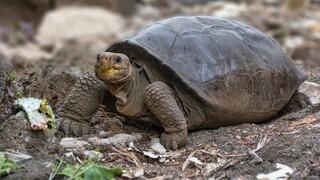 Είδος χελώνας που το θεωρούσαν εξαφανισμένο εδώ και 100 χρόνια βρέθηκε στα νησιά Γκαλαπάγκος