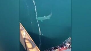 Γιγαντιαίος καρχαρίας περικύκλωσε κρουαζιερόπλοιο