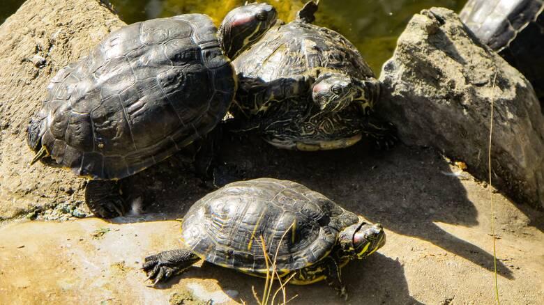 Τρίκαλα: Στα σκουπίδια βρέθηκαν τέσσερις μικρές χελώνες