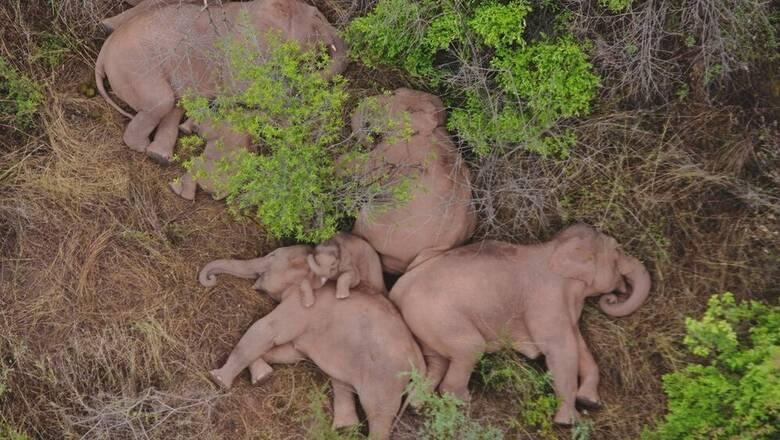 Οι περιπλανώμενοι ελέφαντες της Κίνας ξαποσταίνουν για έναν ύπνο...