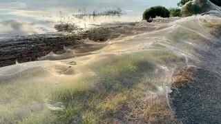 Ιστοί αράχνης σκέπασαν περιοχή της Αυστραλίας – Πώς συνδέονται με τις πλημμύρες