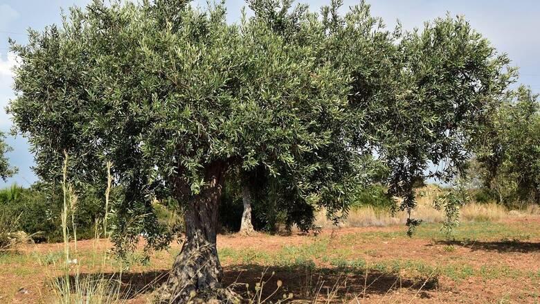 Χαλκιδική: Μειωμένη από 60 έως 80% η φετινή παραγωγή πράσινης ελιάς λόγω κλιματικής αλλαγής