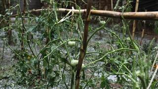 Η κακοκαιρία «σάρωσε» Τρίκαλα και Καρδίτσα: Σοβαρές ζημιές σε καλλιέργειες από τη χαλαζόπτωση