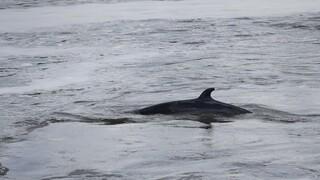 Τερματίζεται, μετά τις αντιδράσεις, αμφιλεγόμενο πείραμα για την ακοή των φαλαινών