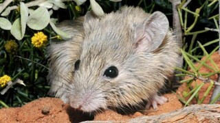 Ποντίκι που το πίστευαν εξαφανισμένο εδώ και 150 χρόνια εμφανίστηκε να ζει σε νησί