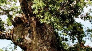 Κιλκίς: Το αρχαιότερο τραγούδι στον κόσμο θα ακουστεί στις αιωνόβιες βελανιδιές της Κούπας