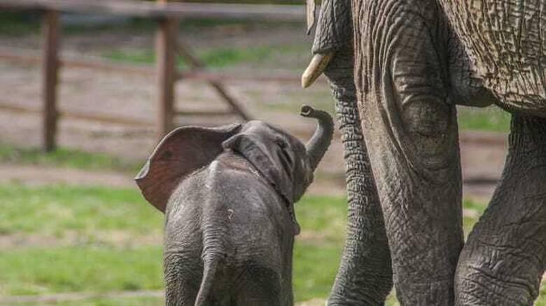 Ένα κοπάδι ελεφάντων υπό αιχμαλωσία θα επιστρέψει στην άγρια φύση για πρώτη φορά