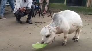 Ράνι: Η αγελαδα-μινιατούρα του Μπανγκλαντές που διεκδικεί θέση στο Βιβλίο Γκίνες