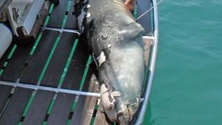 Αλόννησος: Αμοιβή 18.000 ευρώ σε όποιον βοηθήσει στη σύλληψη του δολοφόνου της φώκιας «Κωστής»
