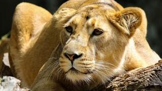 Κένυα: Λιοντάρι «απέδρασε» από εθνικό πάρκο και έσπειρε τον πανικό