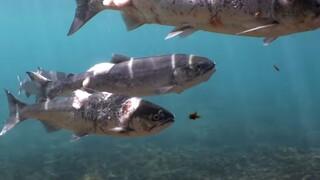 Συγκλονιστικό βίντεο: Σολομοί βράζουν ζωντανοί σε ποταμό λόγω υψηλών θερμοκρασιών