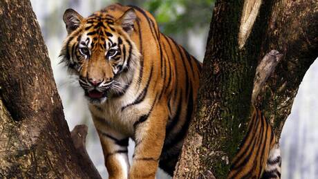 Κορωνοϊός - Ινδονησία: Δυο τίγρεις της Σουμάτρας θετικές σε ζωολογικό κήπο της Τζακάρτα