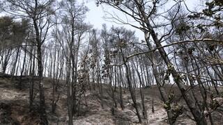 Πυρκαγιές - Ο θλιβερός απολογισμός: Στάχτη το 16% των δασών της Αττικής