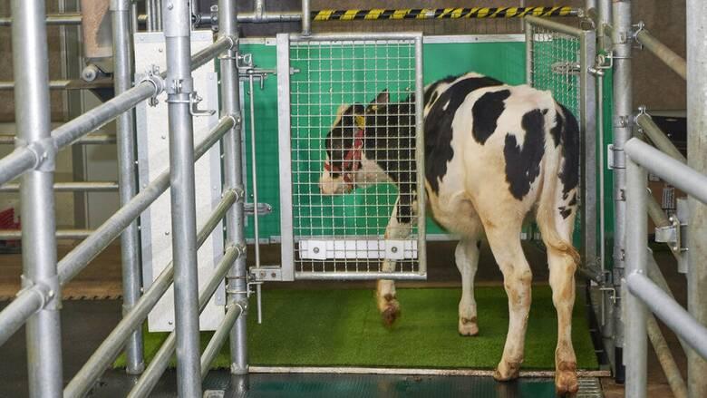 Νέα Ζηλανδία: Αγελάδες έμαθαν να πηγαίνουν... τουαλέτα «πολεμώντας» το φαινόμενο του θερμοκηπίου