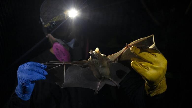 Έρευνα: Αναζητούν την προέλευση του κορωνοϊού σε νυχτερίδες - Τι έδειξαν δείγματα από το 2010