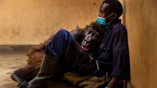 Η συγκινητική φωτογραφία του γορίλα που ξέψυχα στην αγκαλιά του ανθρώπου που τον έσωσε