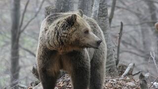 Κοζάνη: Αρκούδα επιτέθηκε και δάγκωσε κυνηγό - Πώς τον έσωσε το κινητό του