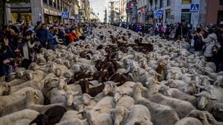 Ισπανία: Πρόβατα και βοσκοί κατέκλυσαν τους δρόμους της Μαδρίτης